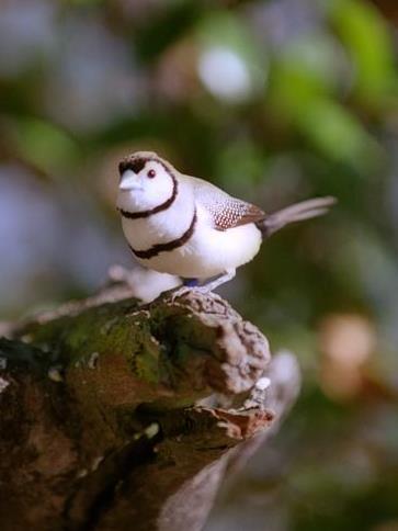 Double-barred Finch  (Poephila bichenovii). Photo: John Martin