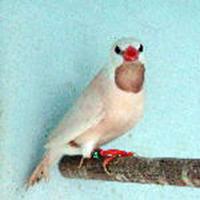 Cock White Parson
