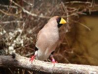 Adult Masked Grassfinch.