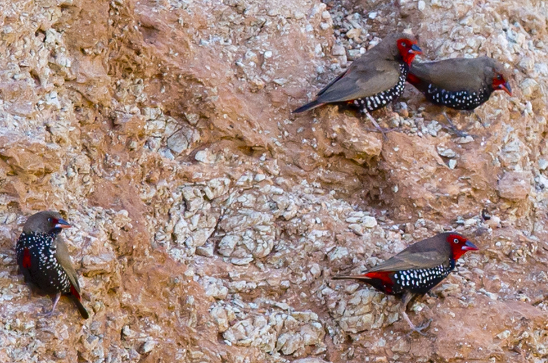 Painted Firetail Finches. Photo:Jim Bendon