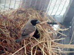 Hen at nest entrance