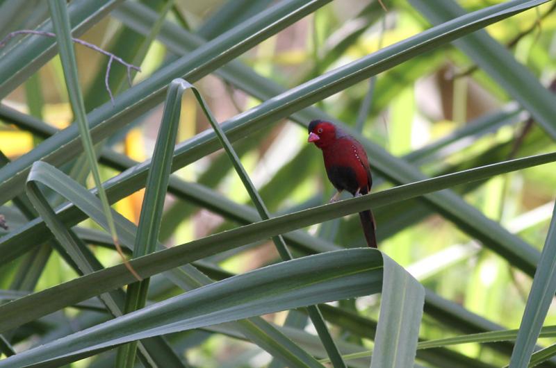 Crimson Finch (Neoc  hmia phaeton) . Photo: Chris Wiley