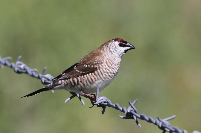 Plum-headed Finch (Aidemosyne modesta).  Photo: Chris Wiley