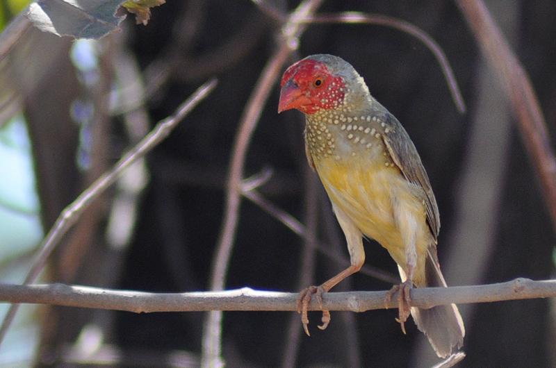 Star Finch. Photo: Craig Nieminski