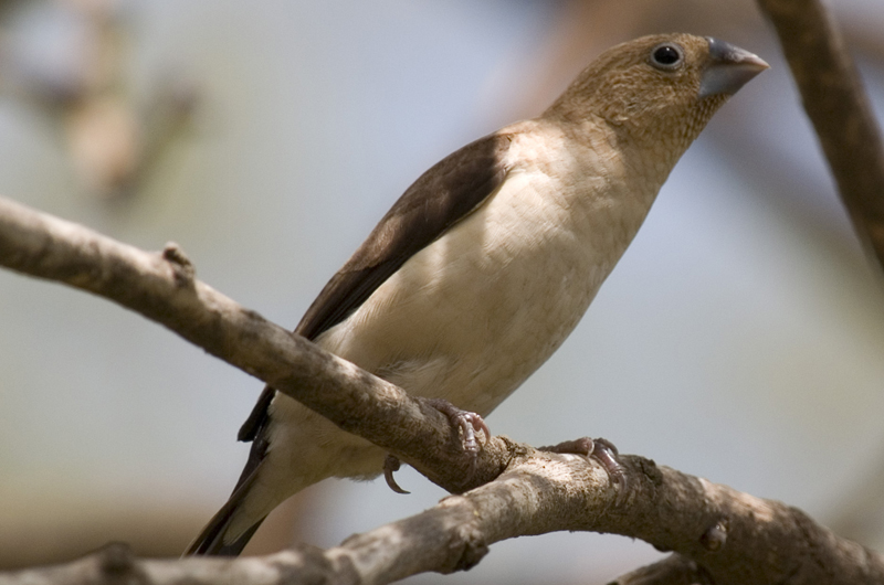 African Silverbill ( Lonchura cantons  ) . Photo: Thom Haslam