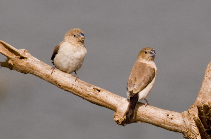 Pair of African Silverbills  (  Lonchura cantons  ) . Photo: Thom Haslam