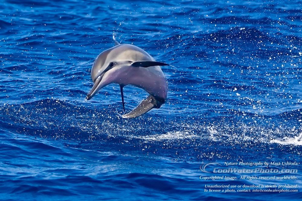 Spinner-Dolphin-Hawaiian-0177.jpg