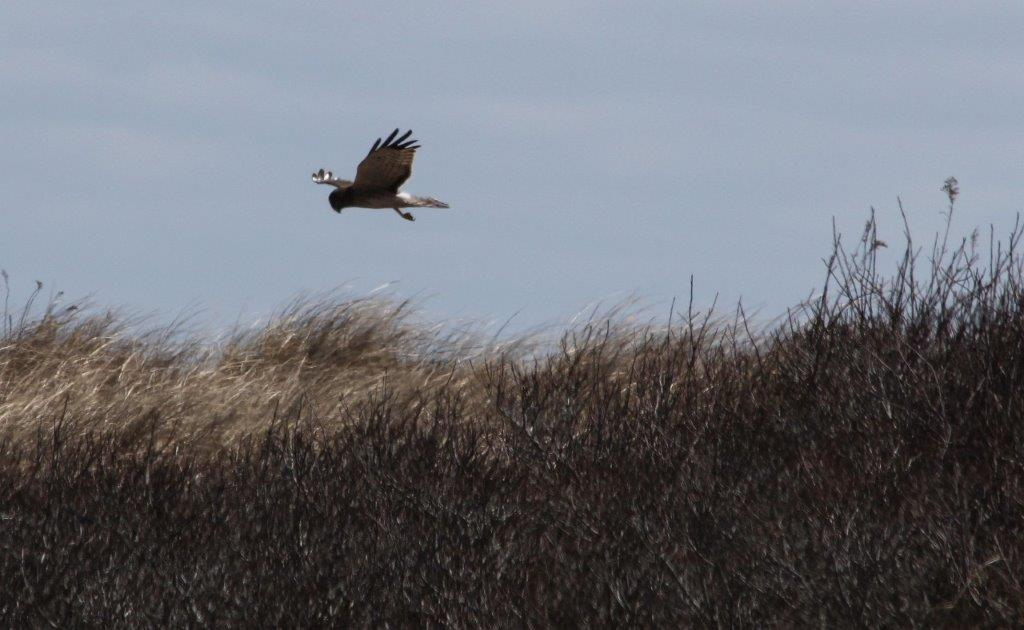 Northern Harrier - Thanks to member Tina Delaney for this picture from Forest Beach