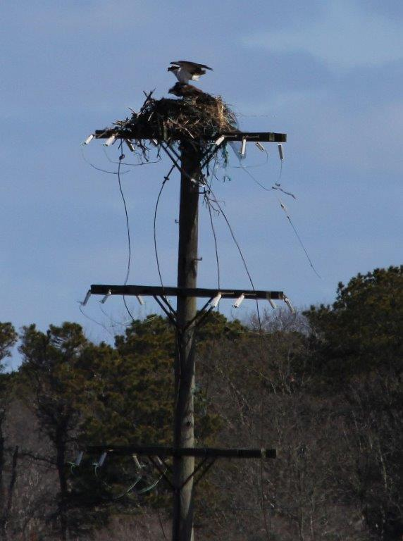 Osprey Pair - Another beautiful image from member Tina Delaney!