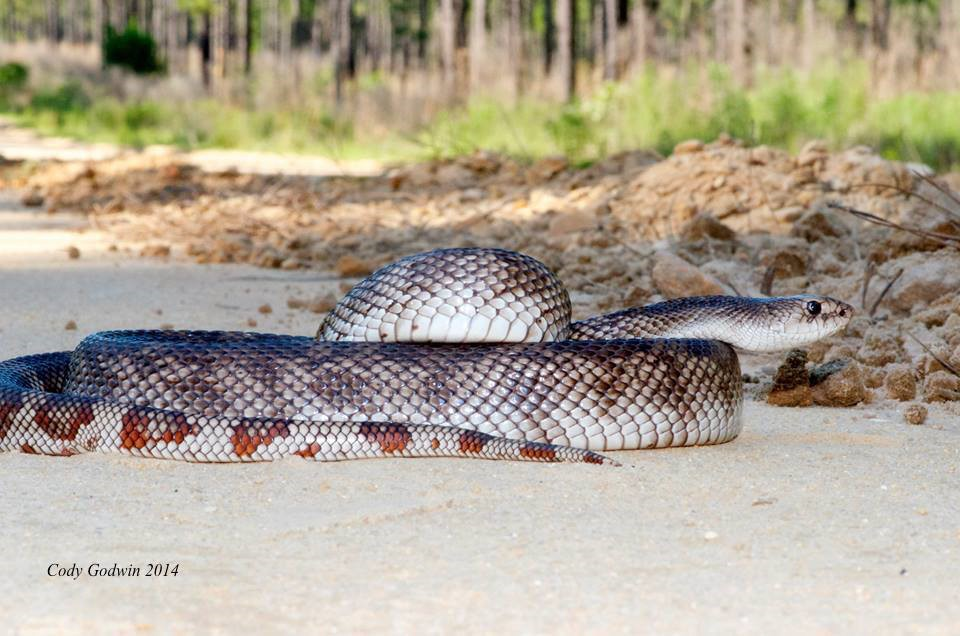 Adult Florida Pine snake