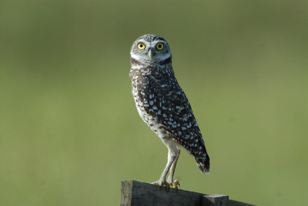 Jay Exum - burrowing owl Lake County