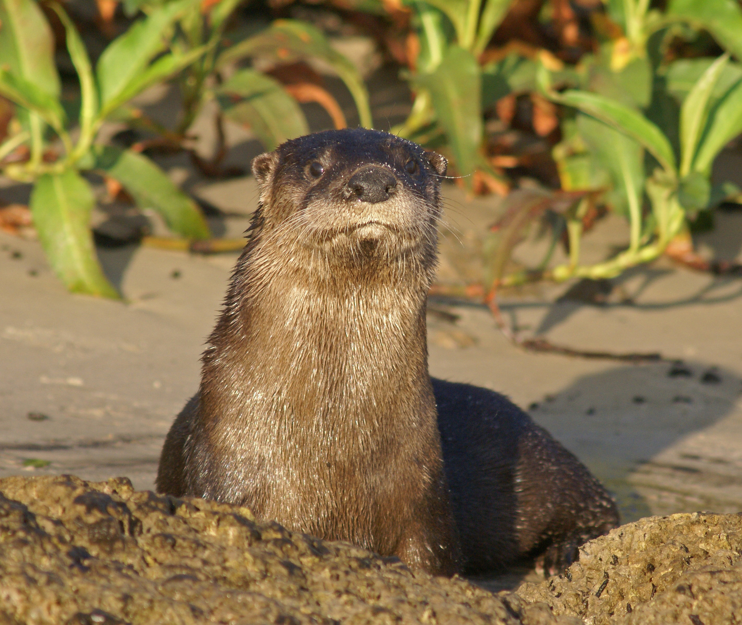 Robert R. Mindick - North American River Otter