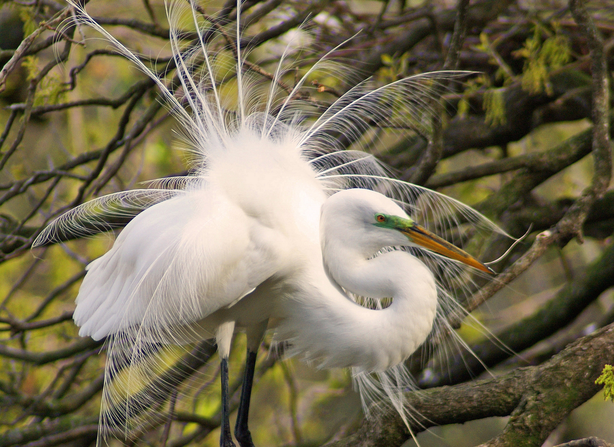 Robert R. Mindick - Great Egret