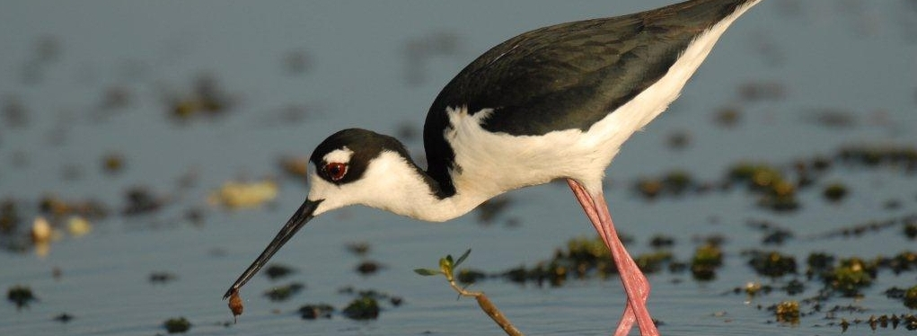 Jay Exum - black-necked stilt Circle B Bar Ranch