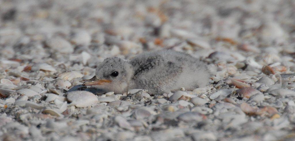 Jay Exum - Wilson's plover chick north Captiva