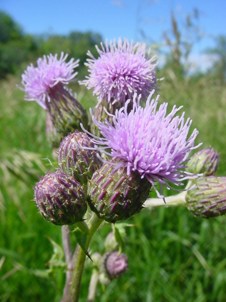The State of Minnesota has named 11 plants as noxious weeds.