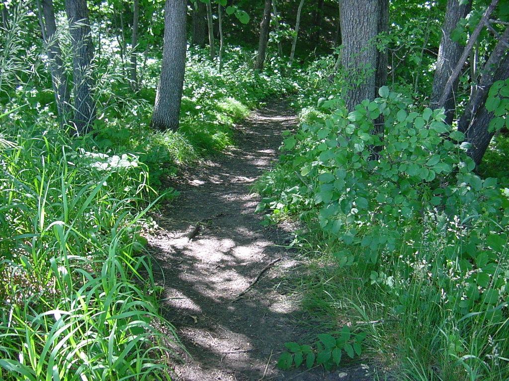 Buckthorn invading a woodland