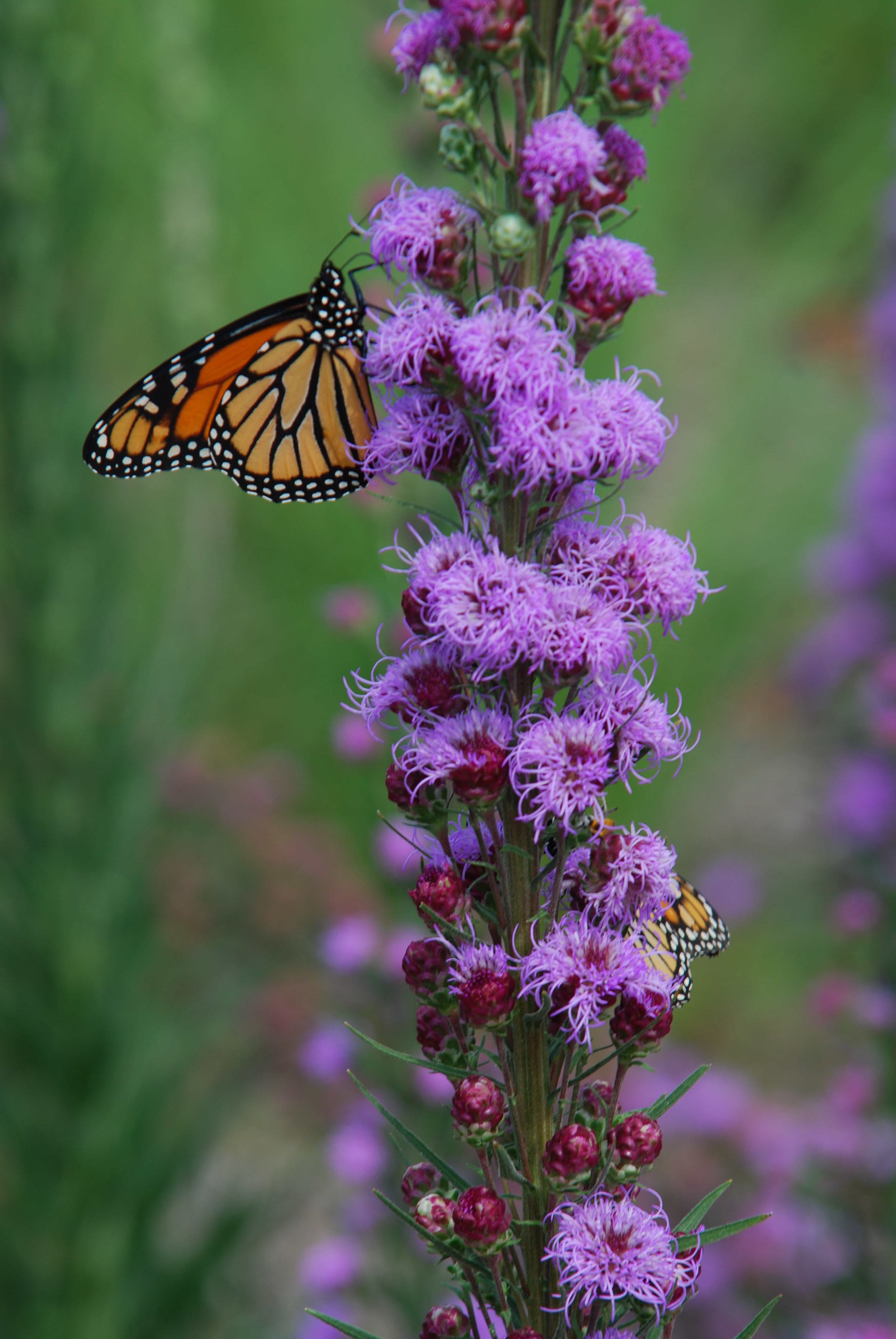 Monarch Butterflies are attracted to native flowers that thrive in raingardens.