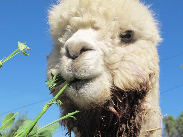 Happy 4th to our friends up north! 🇺🇸 . . . . #madeinperu #alpaca #alpacasofinstagram #july4th