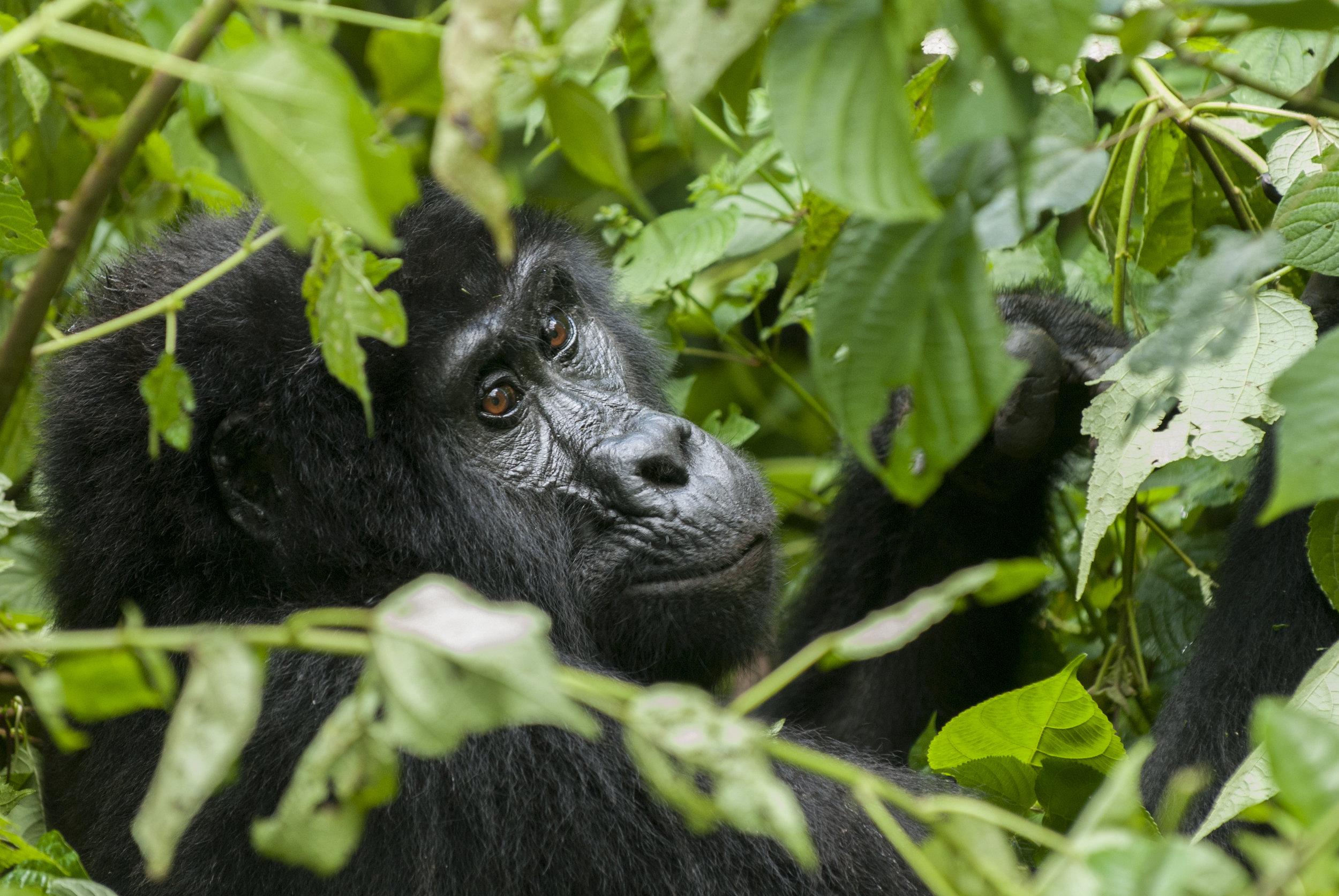 Gorillas in Bwindi National Park, in southwest Uganda. ©Levi S. Norton