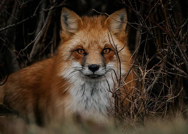 Grumpy Fox Portrait 🦊😤🇨🇦