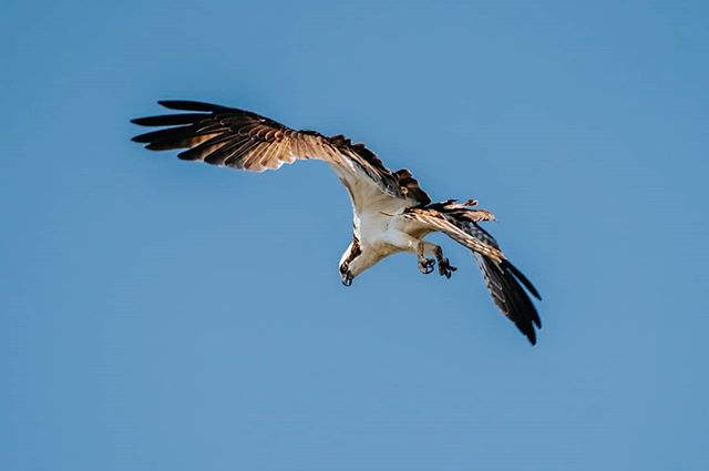 Osprey:  Going in for the kill 🎣