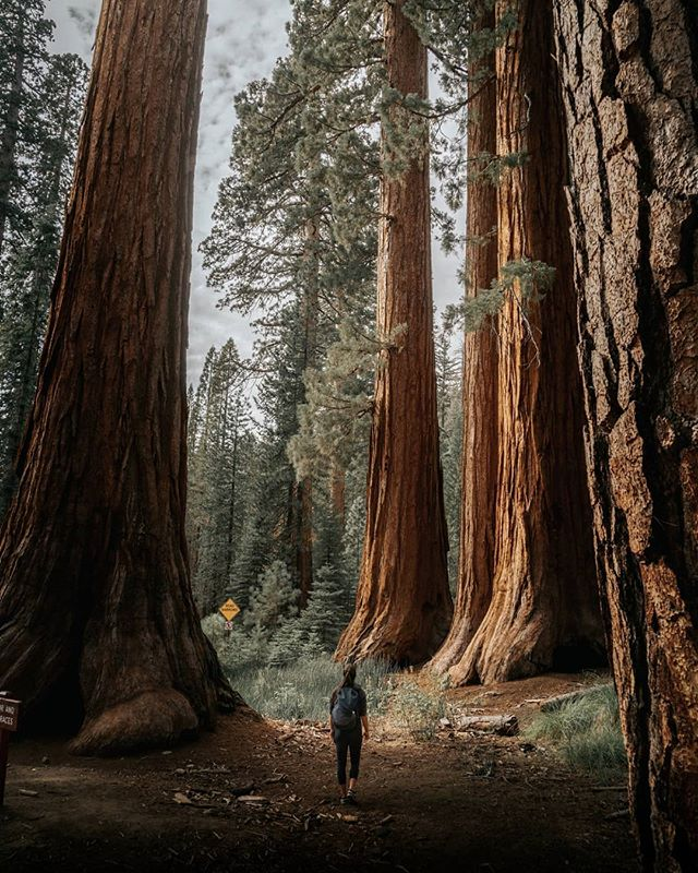 Amongst Giants at The Redwoods in Yosemite. 🌲 • • • • • #yosemite #moodygrams #travelphotography #goldenhour #justgoshoot #thevisualscollective #awesupply #vscocam #fullframe #theIMAGED #artofvisuals #exklusive_shot #agameoftones #visualsoflife #ReflectionGram #feedbacknation #neverstopexploring #mountainview #eastcoastcreatives #thevisualscollective #awesupply #fog #bevisuallyinspired #basejump #perfecttiming #weddingphotography #eclectic_shotz #folkgreen #earthfocus