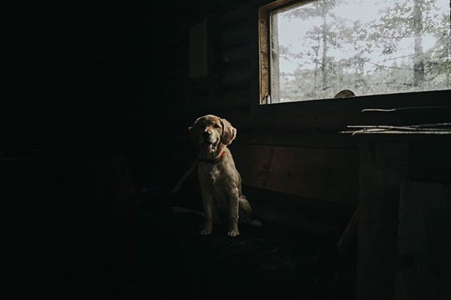 Rikku - Our puppy, posing at the Cabin. 🐶🌲 • • • • • #goldenretriever #naturephoto #babyanimals #puppy #animallove #animal_captures #animals_in_world #animalelite #natgeowild_hd #natgeopix #wildlifeonearth #animal_sultans #animalportrait #dogphotography #wildlifephotographer #exploretheglobe #agameofportraits #jaw_dropping_shotz #natgeo #natgeohub @natgeo @natgeoyourshot #natgeoyourshot #moodyports #awesupply #thevisualscollective #eastcoastcreatives #ANE #atlanticnortheast #discovercharlottetown #tourismPEI #folkgreen @folkgreen