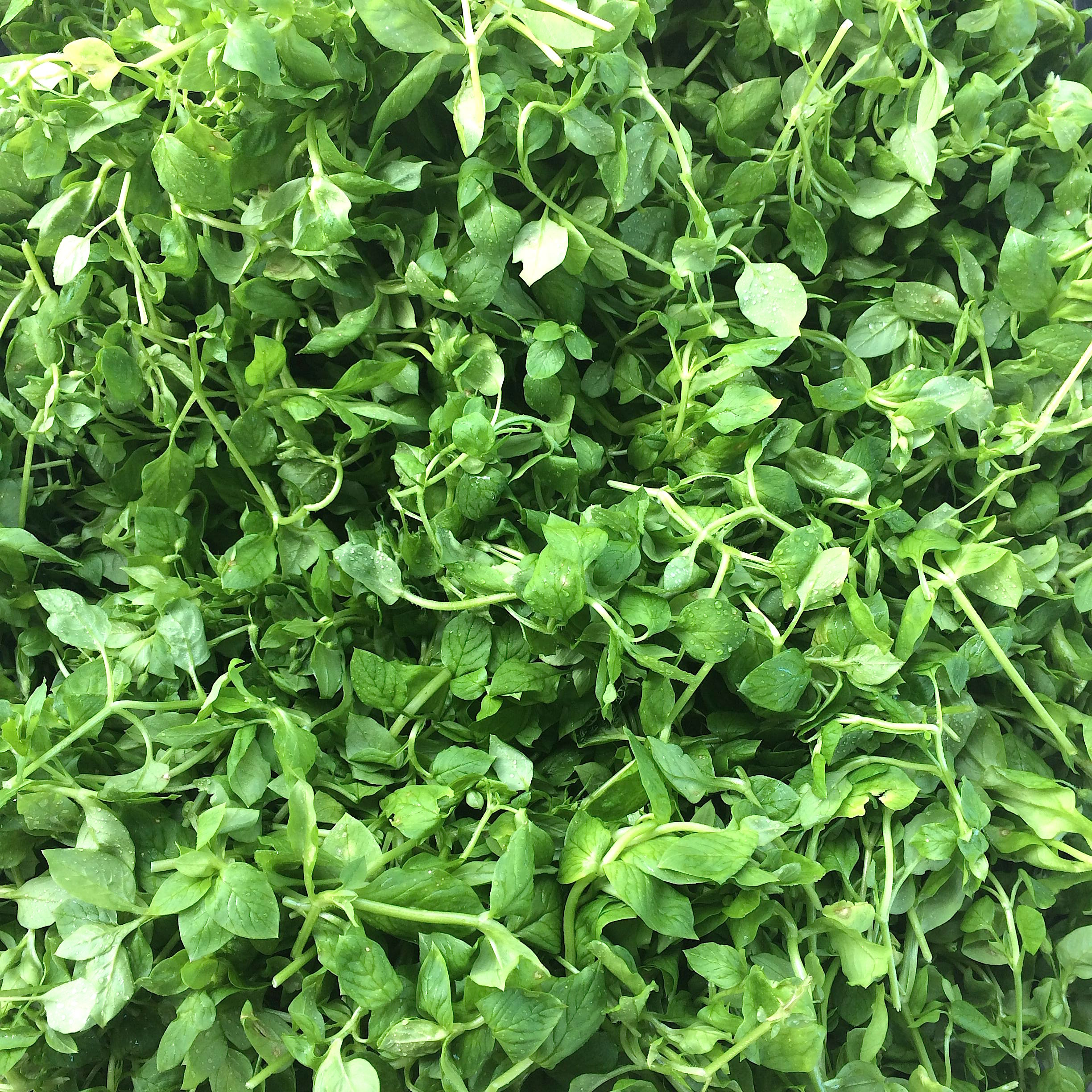 Chickweed at the San Francisco Ferry Building Farmers Market (Marin Roots Organic)