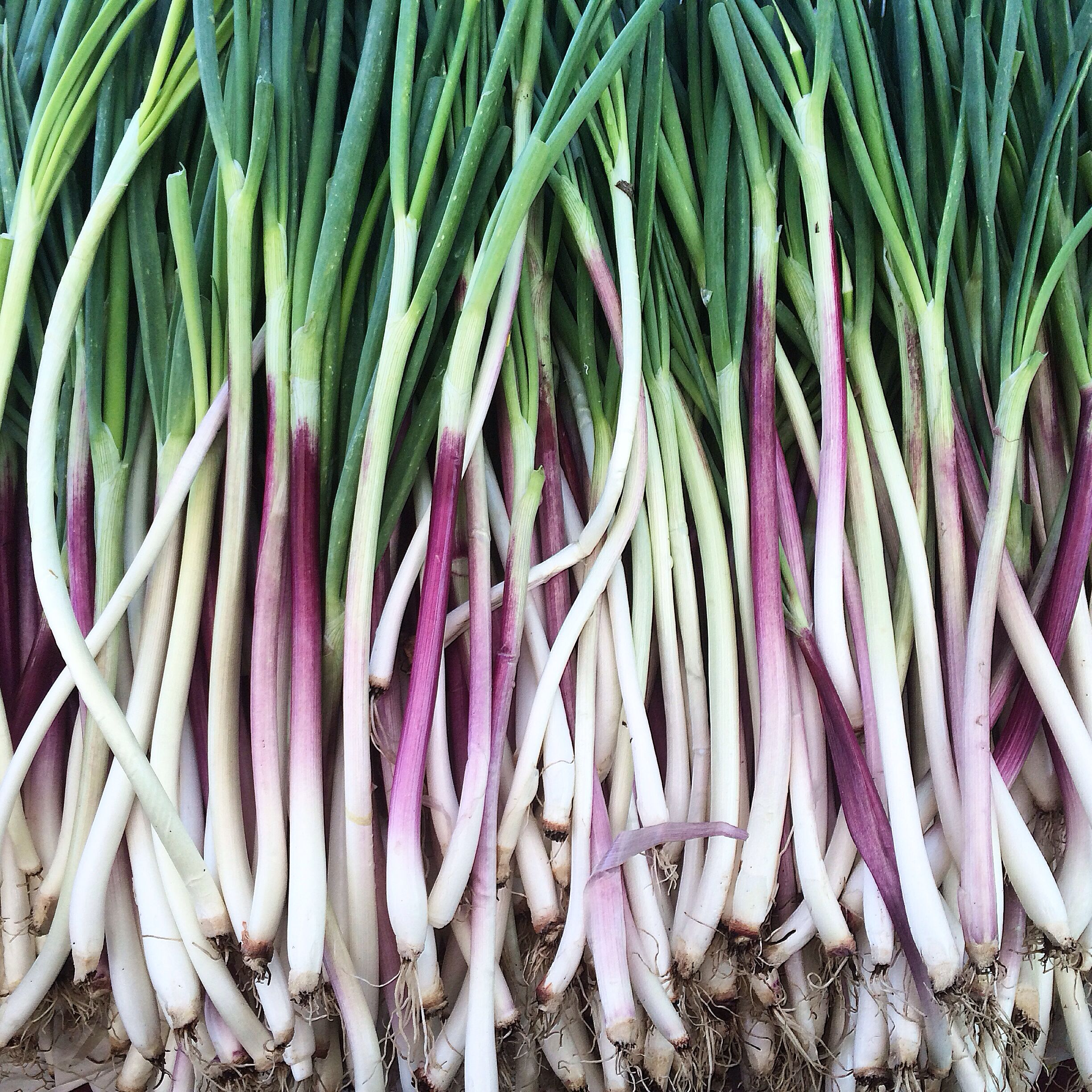 Stunning spring onions from Knoll Farms at the San Francisco Ferry Building Farmers Market.