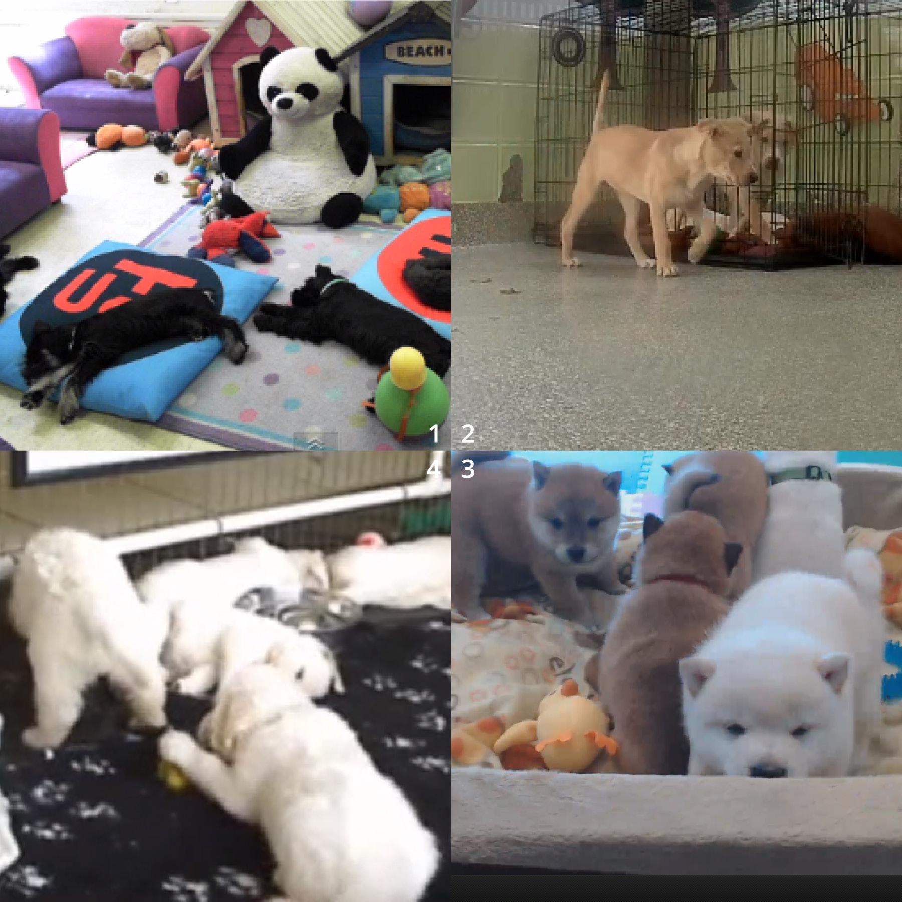 Clockwise, from top left: 1  Miniature Schnauzers  2 Labrador Retrievers  3 Shiba Inus  4 Golden Retrievers