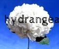 thumb_120x100_Hydrangea 2.jpg
