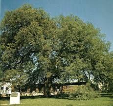 Treaty Oak.Travis County.