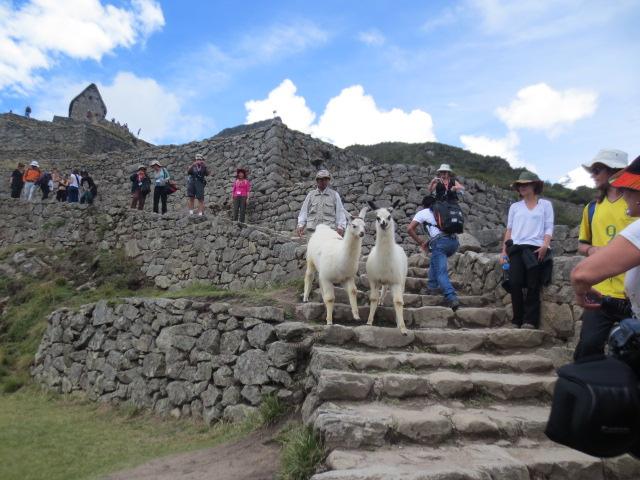 The Lamas walked around