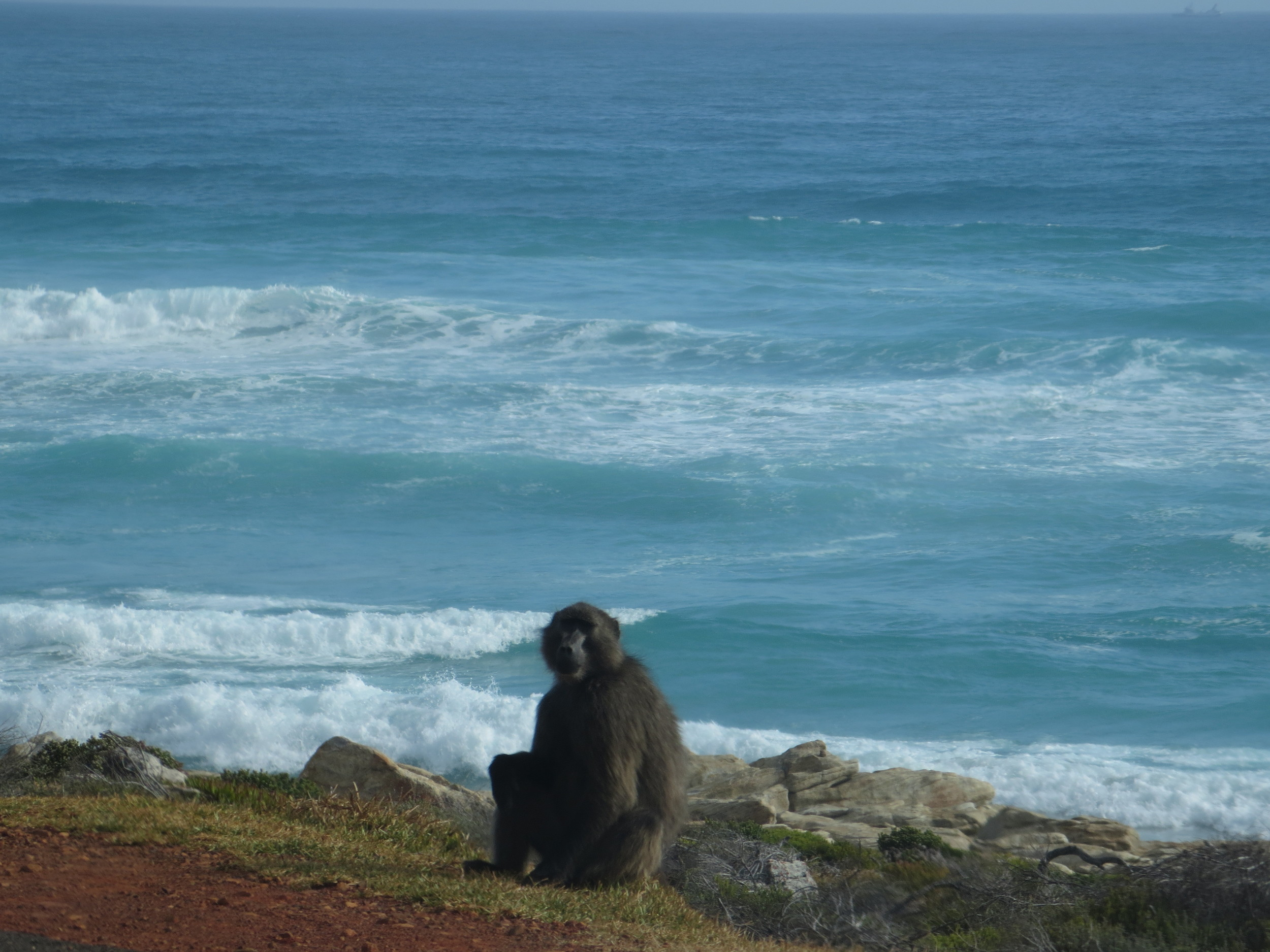 On out way to Cape Point and Cape of Good hope we saw several Baboons