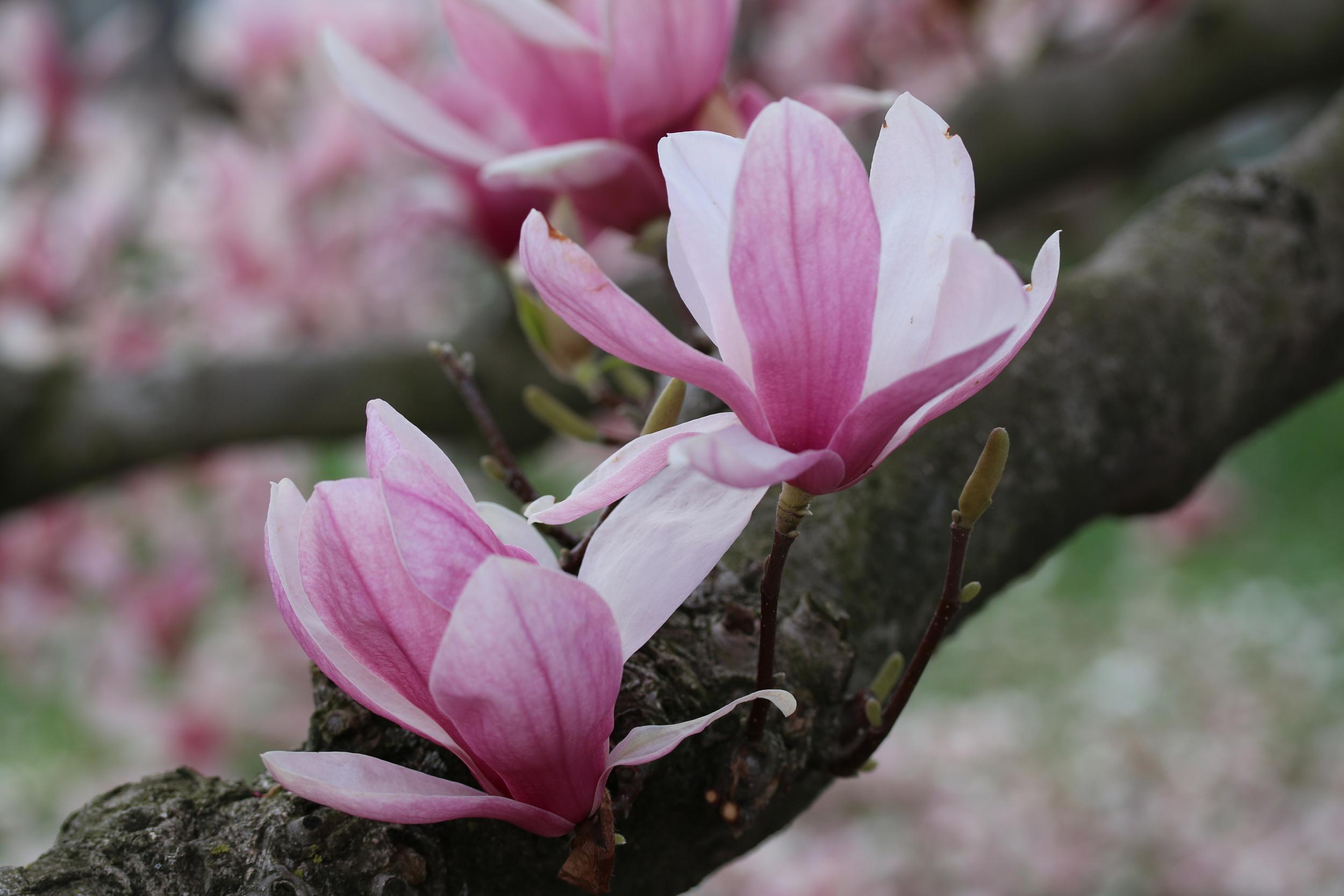 Cherry flowers by Dora