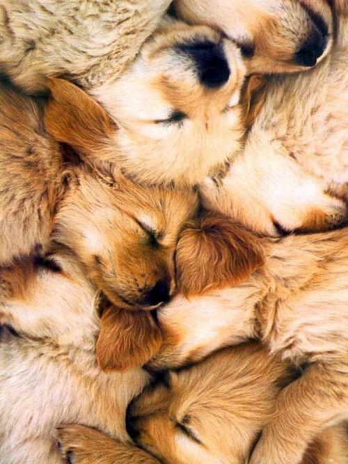 28-puppies-golden-retrievers1.jpg