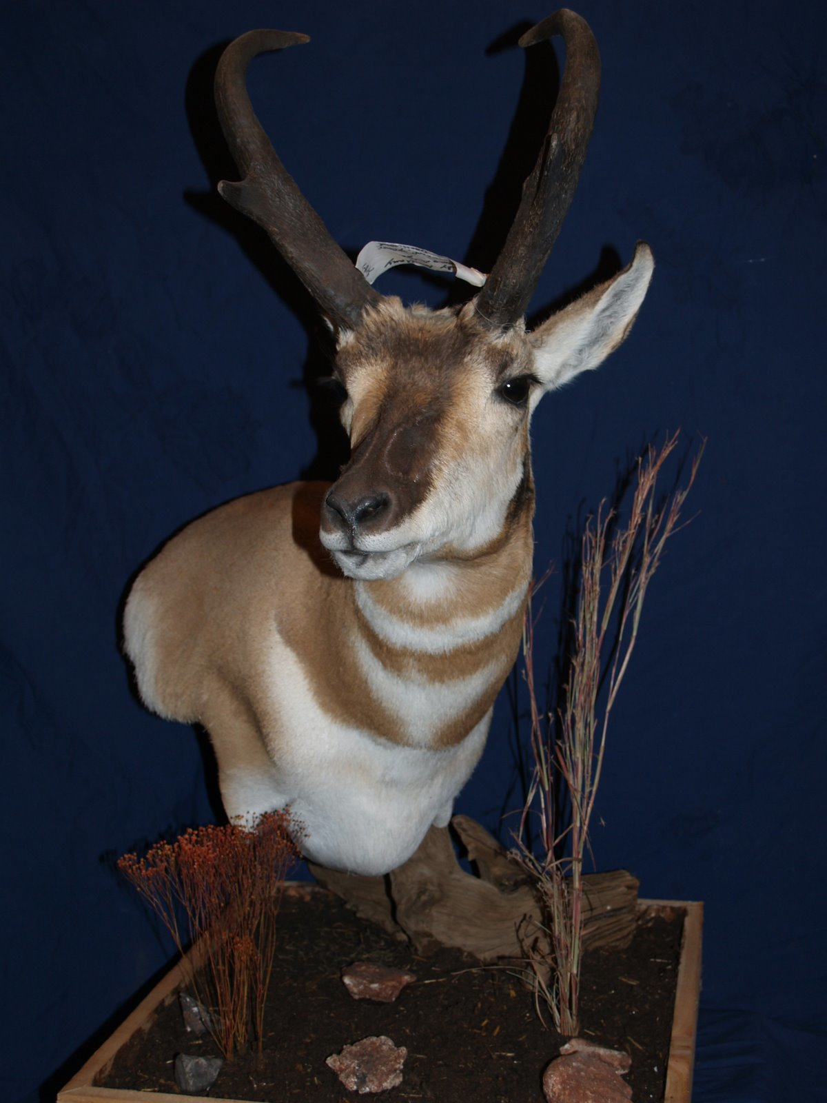 Taxidermy - Antelope Pedistal