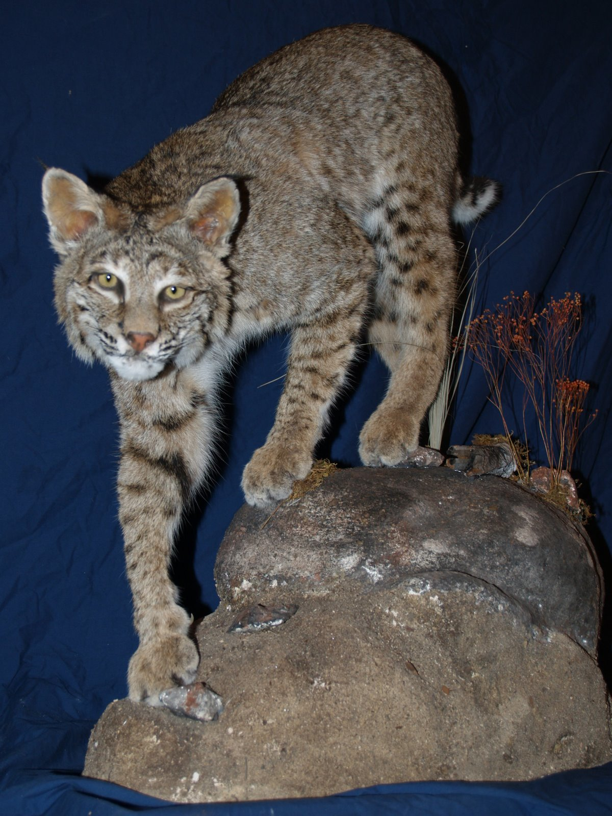 Taxidermy - Bobcat walking downhill