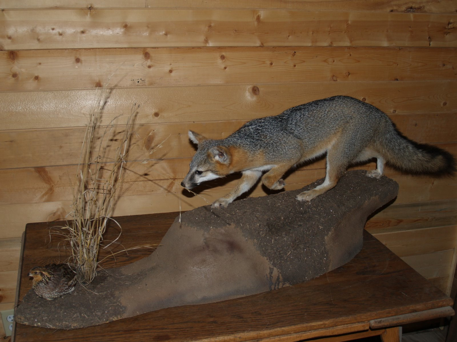 Taxidermy - Grey fox stalking quail from above