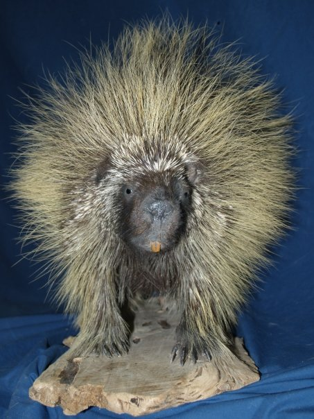 Taxidermy - Porcupine