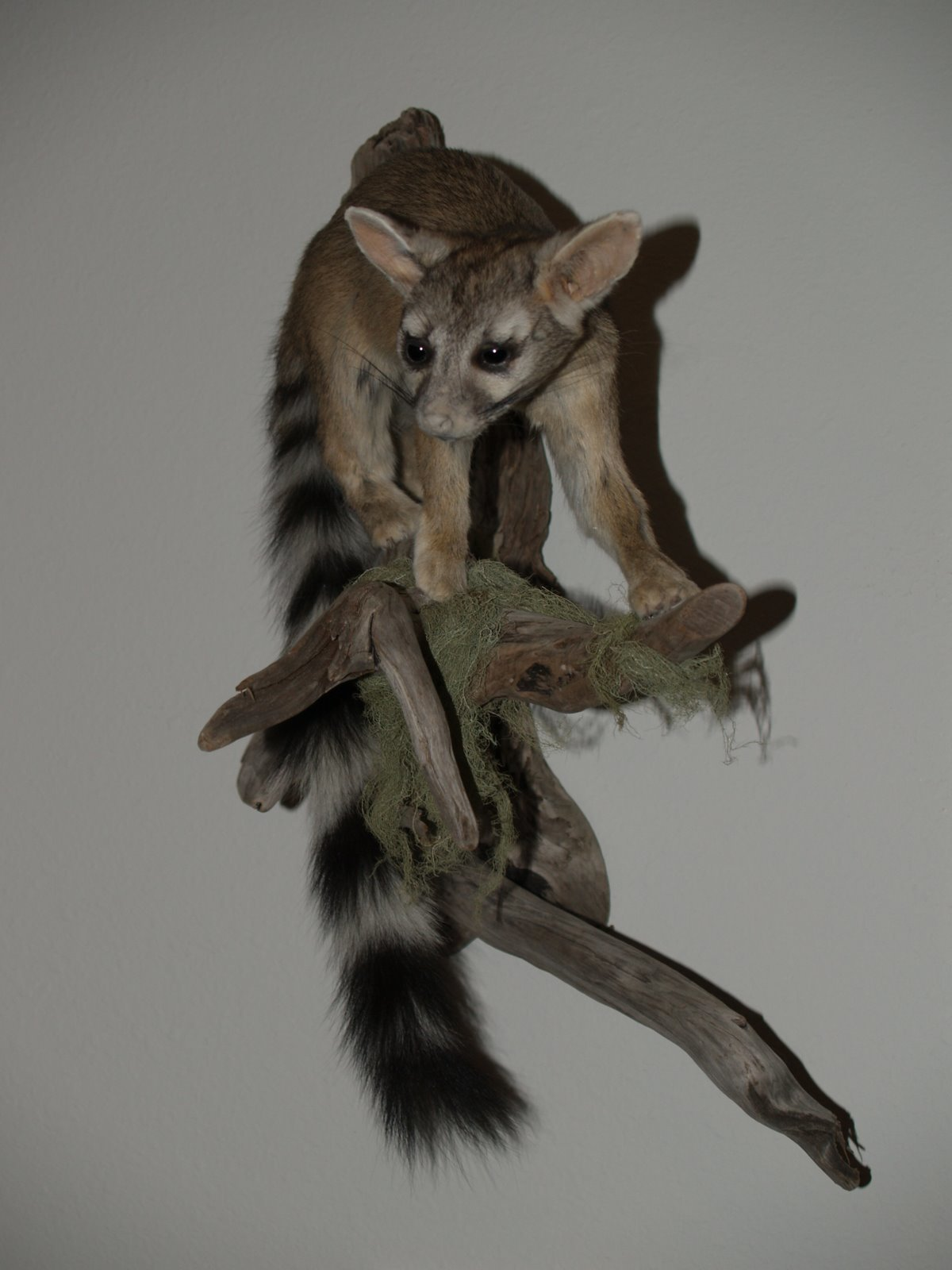 Taxidermy - Ringtail cat