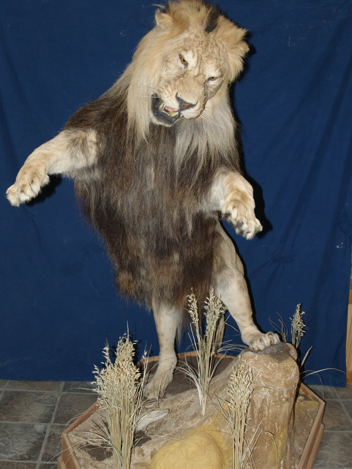 Taxidermy - Barbary lion