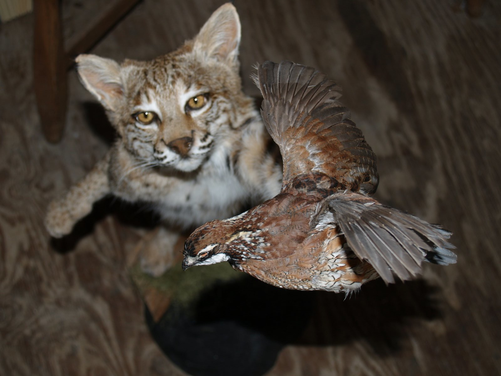 Taxidermy - Leaping Bobcat after Quail