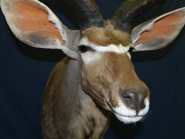 Taxidermy - Kudu detail