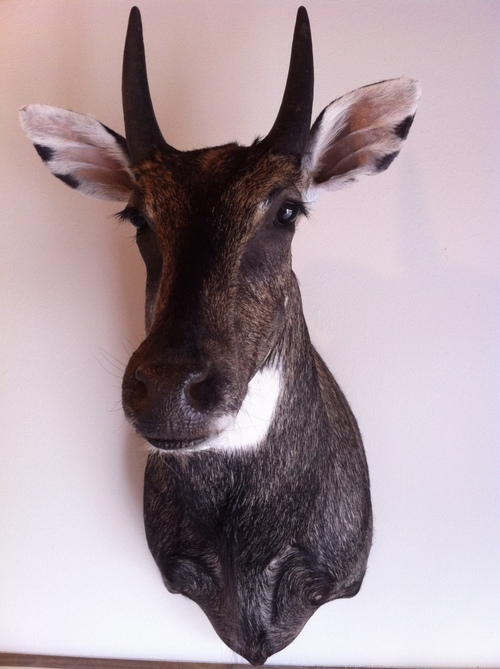 Taxidermy - Nilgai