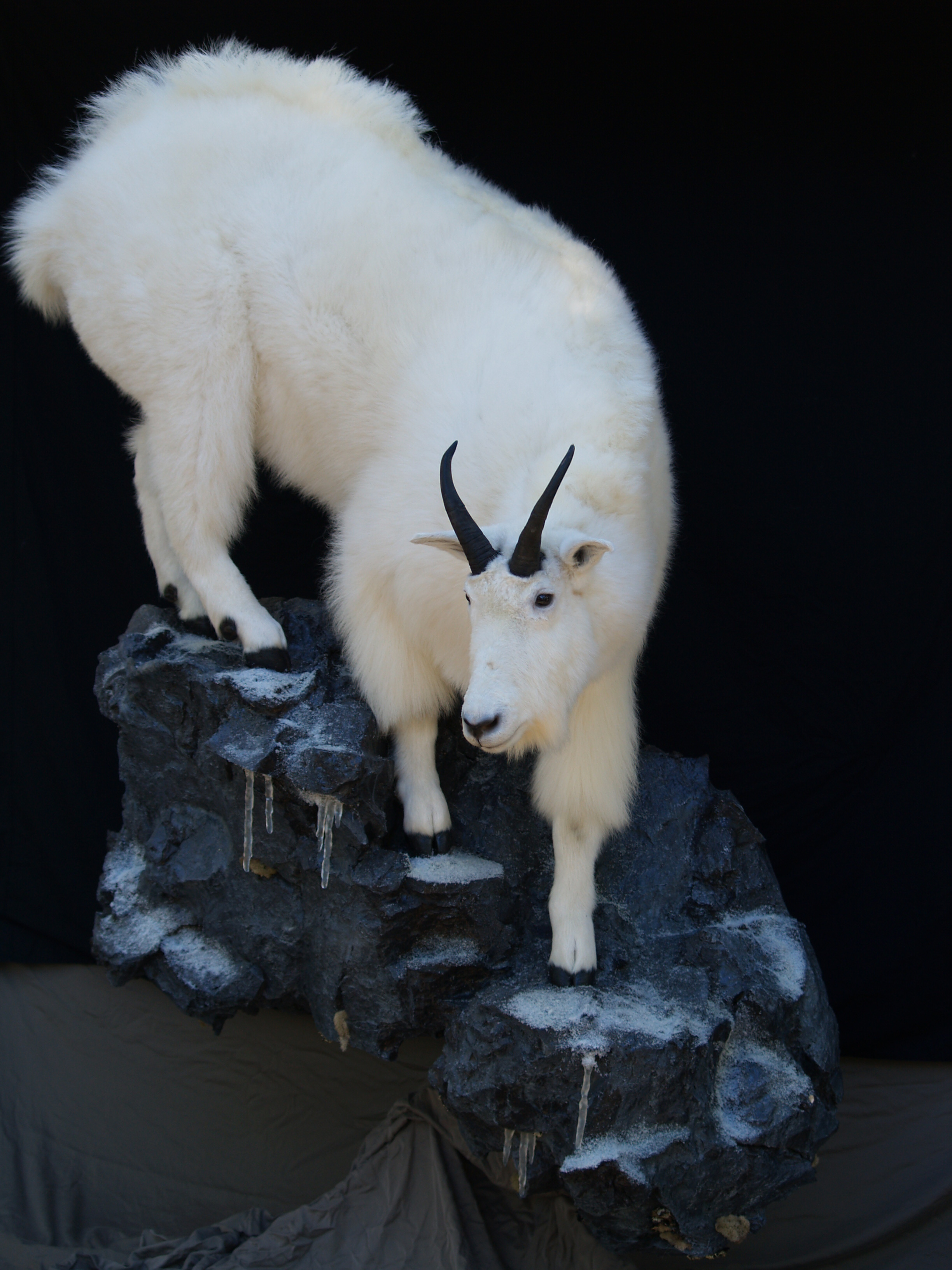 Taxidermy 2015 037.JPG