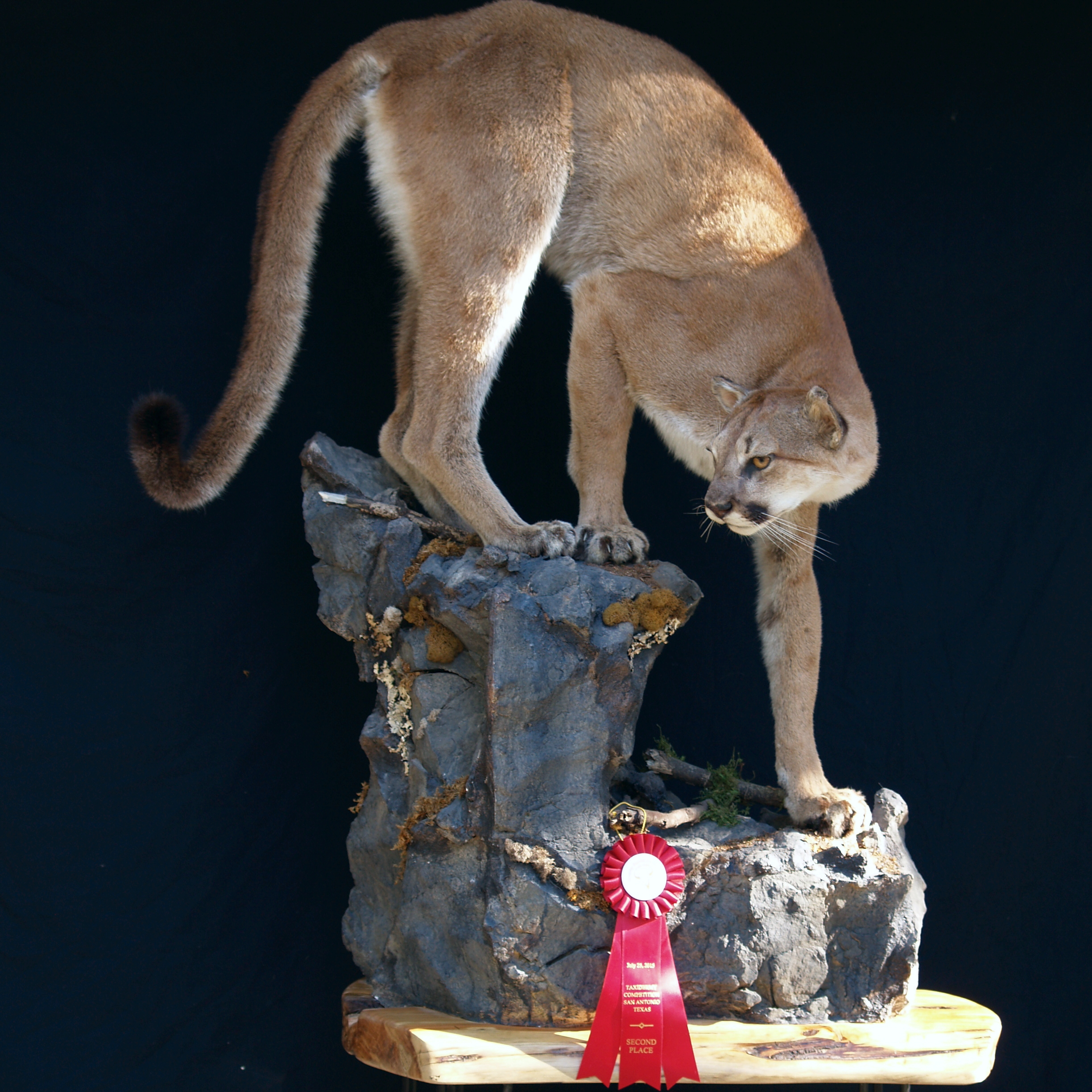 Full Body Life Size Mountain Lion
