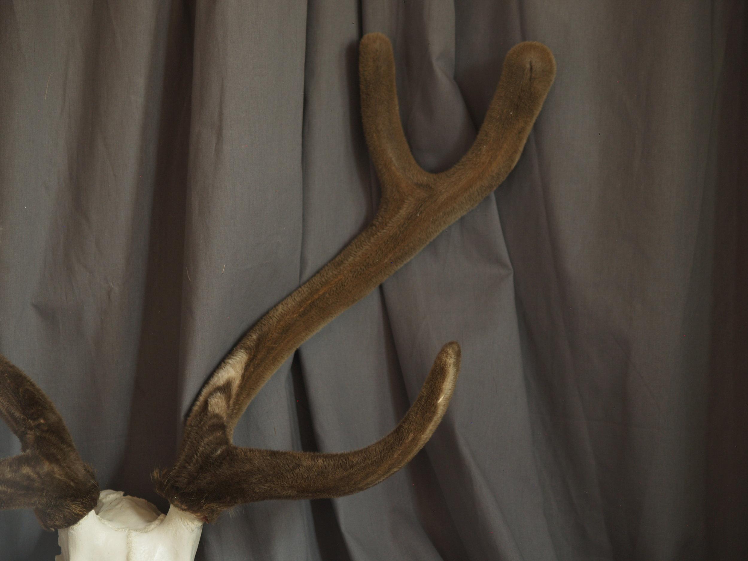 audad, axis, velvet, skulls, pronghorn 019.JPG