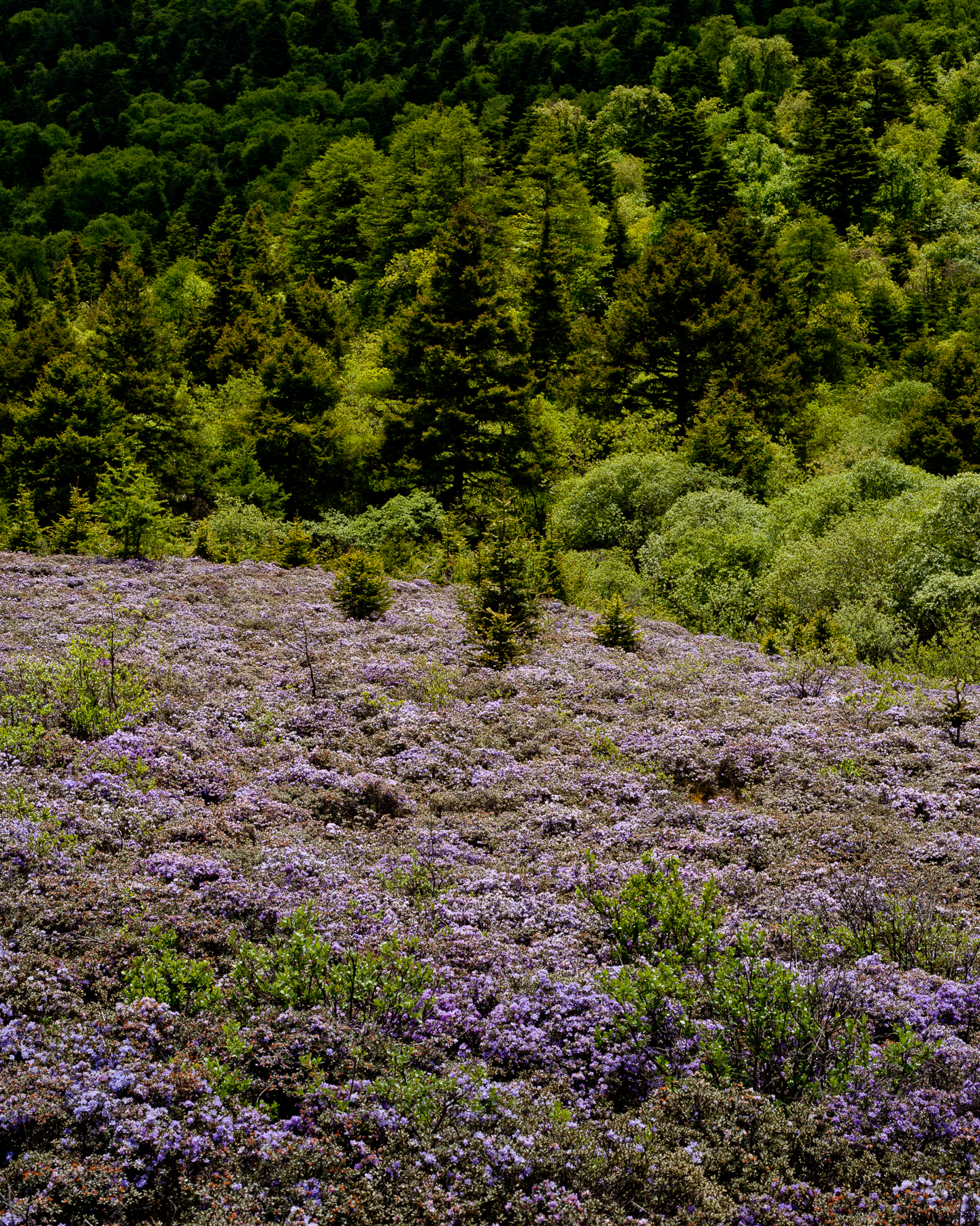 Shake Mountain Flowers